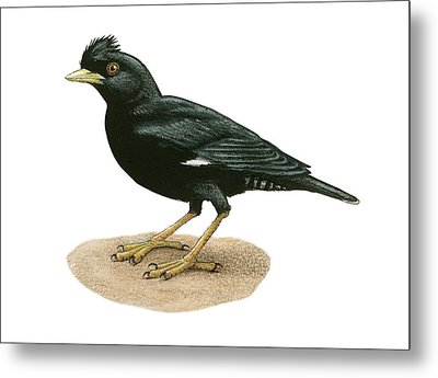 Crested Myna Metal Print by Lionel Portier