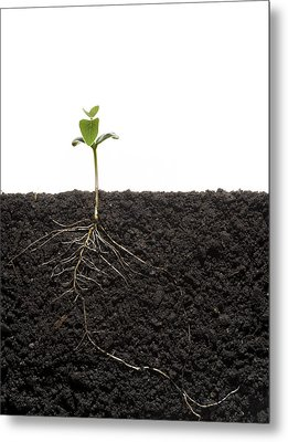 Cross-section Of Soybean Seedling Metal Print by Mark Thiessen
