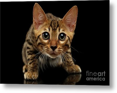 Crouching Bengal Kitty On Black  Metal Print by Sergey Taran