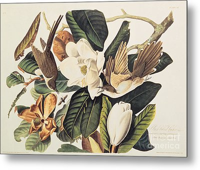 Cuckoo On Magnolia Grandiflora Metal Print by John James Audubon