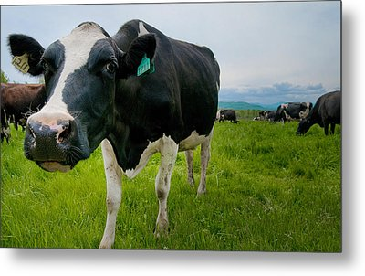 Curious Cow Metal Print by Mandy Wiltse