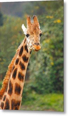Curious Giraffe Metal Print by Naman Imagery