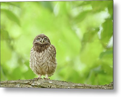 Curious Little Owl Chick Metal Print by Roeselien Raimond