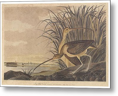 Curlew Metal Print by John James Audubon