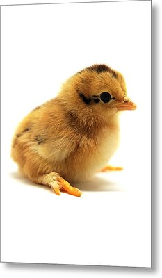 Cute Chick Metal Print by Laura Mountainspring