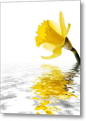 Daffodil Reflected Metal Print by Jane Rix