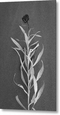 Dahlia Metal Print by Skip Hunt