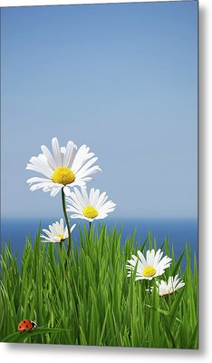Daisies On A Cliff Edge Metal Print by Andrew Dernie