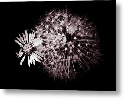 Dandelion And Daisy Metal Print by Grebo Gray