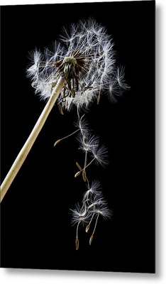 Dandelion Loosing Seeds Metal Print by Garry Gay