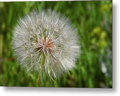 Dandelion Puff - The Summer Queen Metal Print by Christine Till