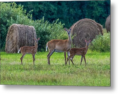 Deer In A Hay Field Metal Print by Paul Freidlund