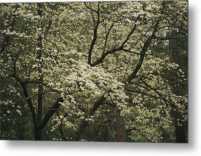Delicate White Dogwood Blossoms Cover Metal Print by Raymond Gehman
