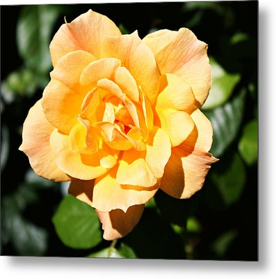 Delicate Yellow Petals Metal Print by Cathie Tyler