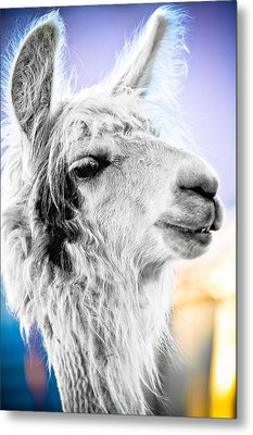 Dirtbag Llama Metal Print by TC Morgan