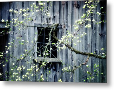 Dogwood Blossoms  Metal Print by Thomas Schoeller