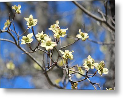 Dogwood In Bloom Metal Print by Cynthia Guinn