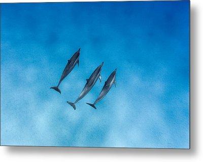 Dolphin Trio Metal Print by Sean Davey