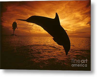 Dolphins And Sunset Metal Print by Dave Fleetham - Printscapes