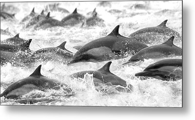 Dolphins On The Run Metal Print by Steve Munch