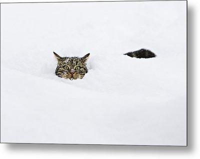 Domestic Cat Felis Catus In Deep Snow Metal Print by Konrad Wothe