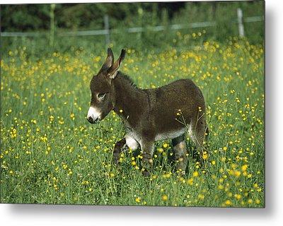 Donkey Equus Asinus Foal In Field Metal Print by Konrad Wothe
