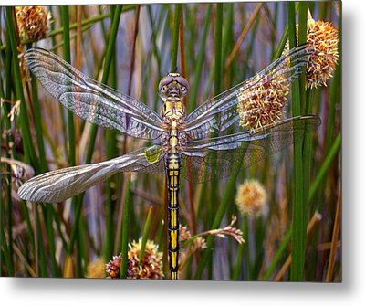 Dragonfly Metal Print by Alison Lee  Cousland