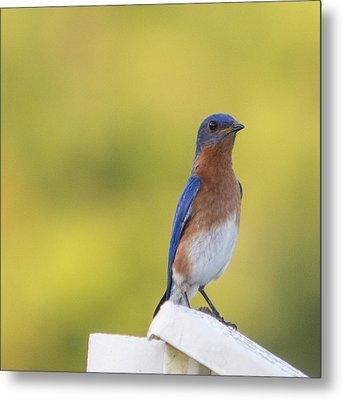 Dreamy Bluebird Metal Print by Sigurd Olsen