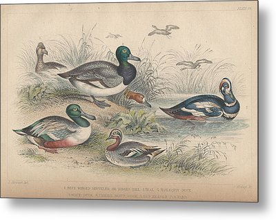 Ducks Metal Print by Oliver Goldsmith