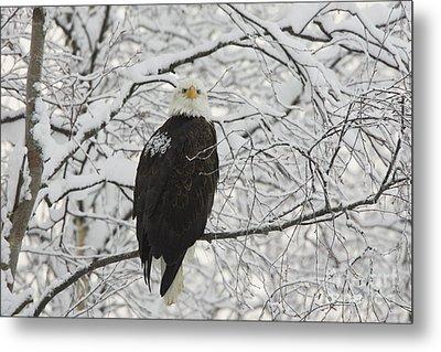 Eagle In Snow Metal Print by Tim Grams