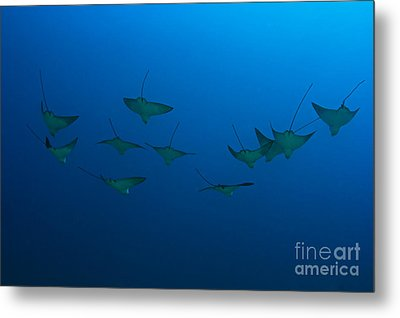 Eagle Rays In Ocean Metal Print by Dave Fleetham - Printscapes
