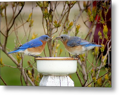 Early Bird Breakfast For Two Metal Print by Bill Pevlor