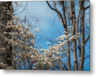 Early Dogwood Metal Print by James Barber
