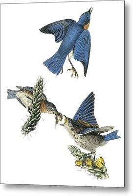 Eastern Bluebird Metal Print by John James Audubon