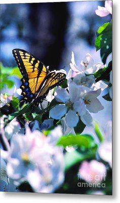 Eastern Tiger Swallowtail Metal Print by Thomas R Fletcher