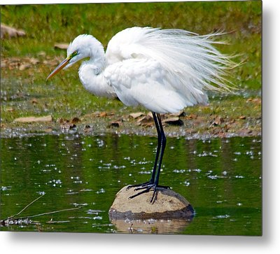 Egret In Mating Plumage Metal Print by Kristine Quandee