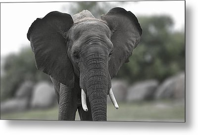 Elephant 2 Metal Print by Michel DesRoches