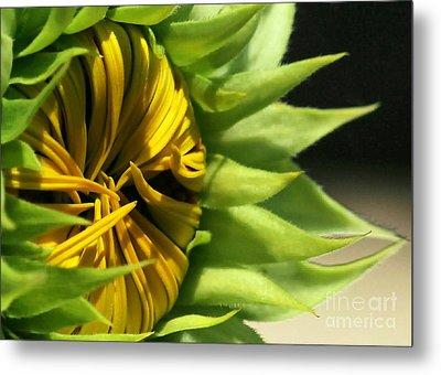 Emerging Sunflower Metal Print by Sabrina L Ryan