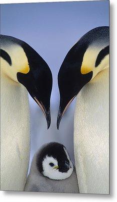 Emperor Penguin Family Metal Print by Tui De Roy