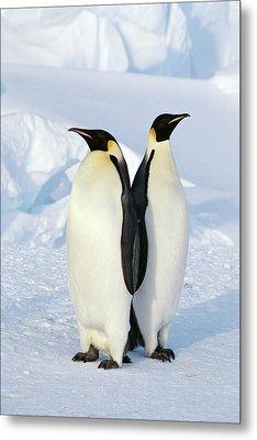 Emperor Penguins, Weddell Sea Metal Print by Joseph Van Os