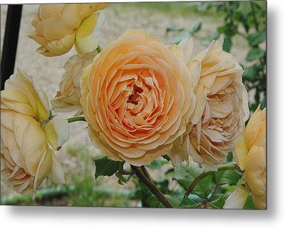 English Rose Apricot Crown Princess Margareta 2 Metal Print by Robyn Stacey
