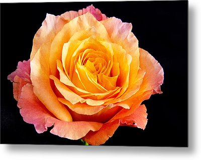 Enticing Beauty The Orange  Rose Metal Print by Daphne Sampson