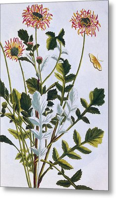 Ethiopian Arcotis  African Lily Metal Print by Pierre-Joseph Buchoz