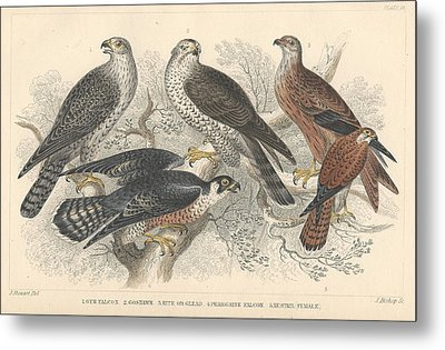 Falcons Metal Print by Oliver Goldsmith