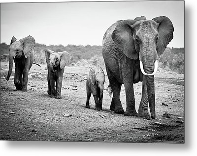 Female African Elephant Metal Print by Cedric Favero