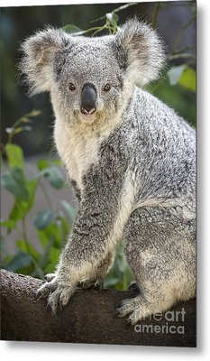 Female Koala Metal Print by Jamie Pham