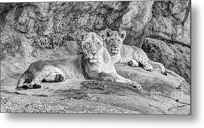 Female Lion And Cub Bw Metal Print by Marv Vandehey