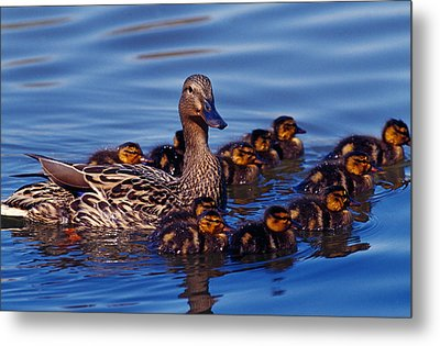 Female Mallard Duck With Chicks Metal Print by Panoramic Images