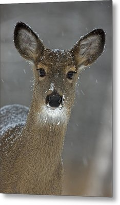Female White-tailed Deer, Odocoileus Metal Print by John Cancalosi