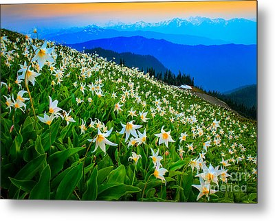 Field Of Avalanche Lilies Metal Print by Inge Johnsson